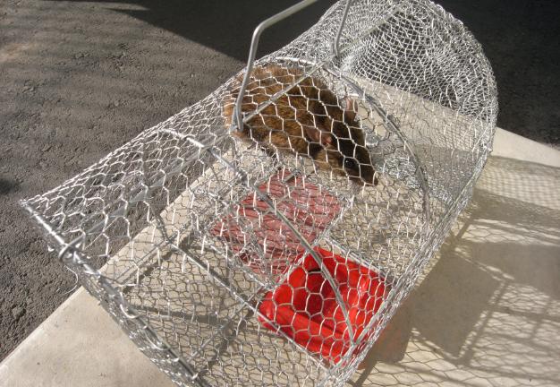 ネズミ用調査用トラップ設置